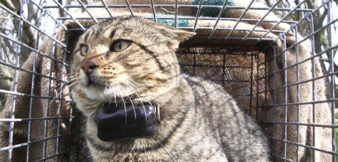 ABengsen Feral Cat