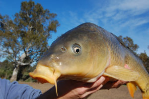Carp closeup. Image by Marc Ainsworth
