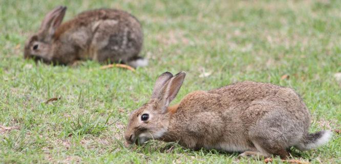 Chris Cox-Rabbits