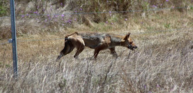 K Foster- wild dog