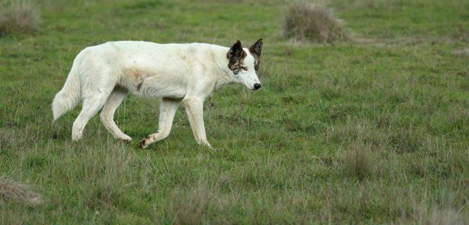 Leo Berzins Wild_Dog