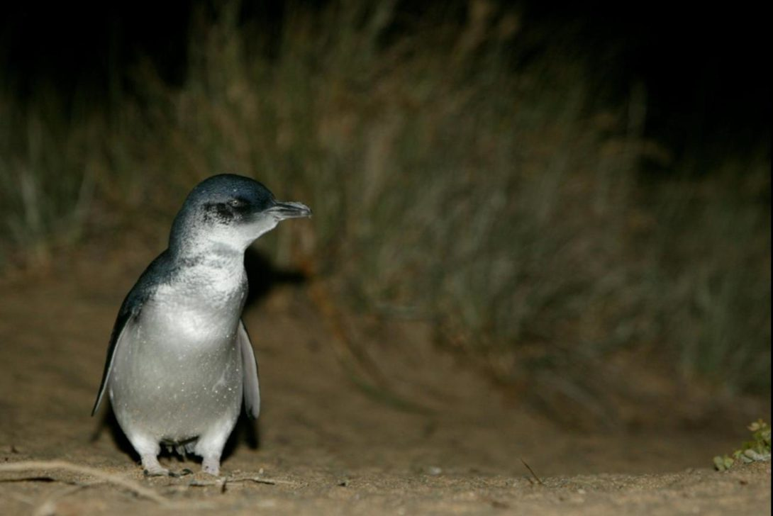 Little penguin. Image: Phillip Island Nature Parks