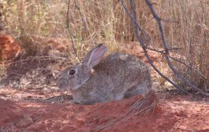 European rabbit. Image by Neil Schultz