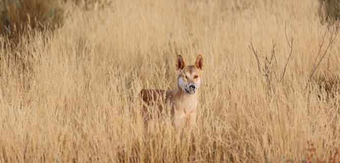 T Lacava-wilddog