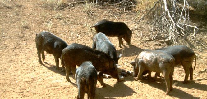 feral pigs hoggone trial