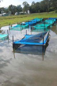 Pond trials at Snobs Creek Hatchery, Victoria. Image: Katie Doyle