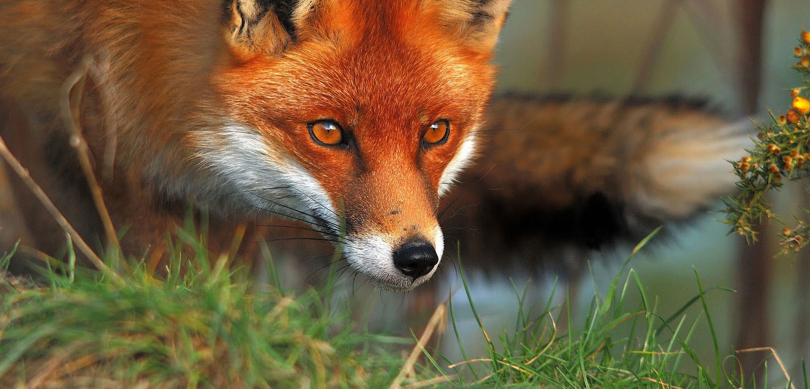 European Foxes Pestsmart