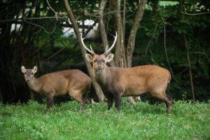 Hog-Deer-axis-porcinus-by-slowmotiongli