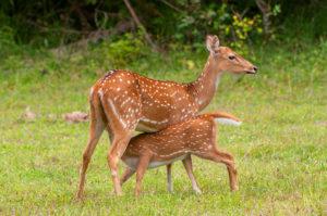 chital-axis-spotted-deer-by-cezary-wojtkowski