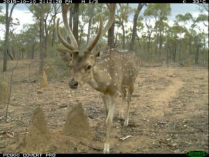 Adult male Chital Deer - by Luke Woodford